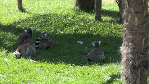 lemur 02 Stock Video Footage