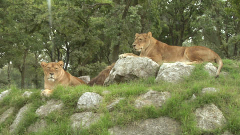 lion 02 Stock Video Footage