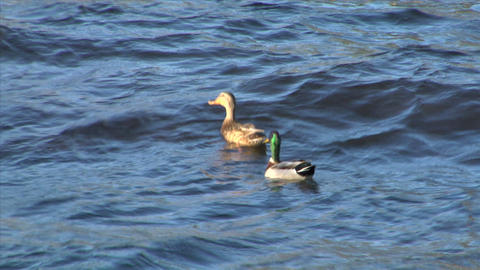 mallard fly 03 Stock Video Footage