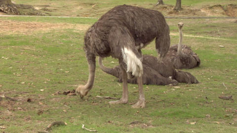 ostrich 01 Stock Video Footage