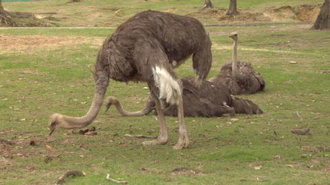 ostrich 03 Stock Video Footage