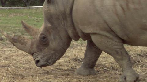 rhinoceros 03 Stock Video Footage