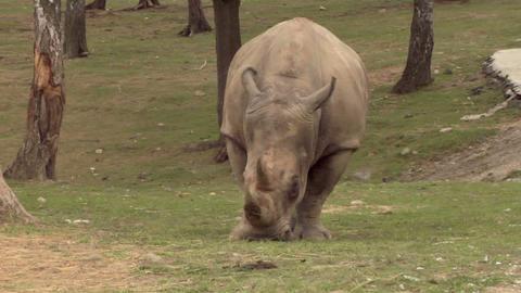 rhinoceros 05 Stock Video Footage