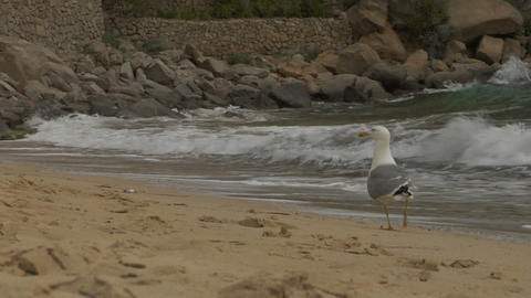 seagull 01 Stock Video Footage