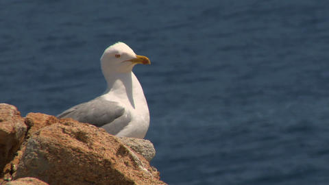 seagull 09 Stock Video Footage