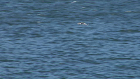 seagull fly 05 Stock Video Footage