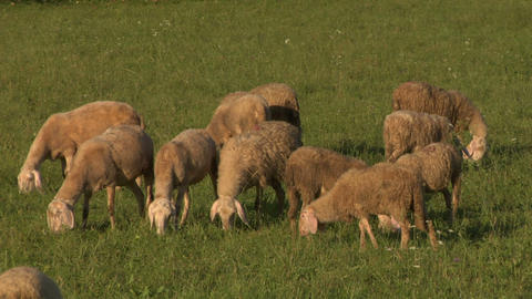 sheep 05 Stock Video Footage