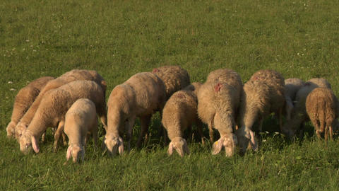 sheep 07 Stock Video Footage