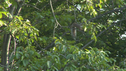 squirrel 01 Stock Video Footage
