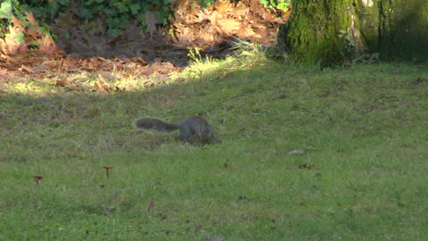squirrel 03 Stock Video Footage