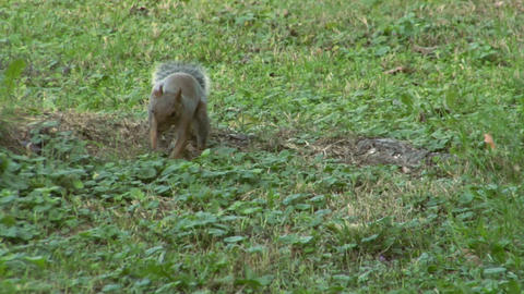 squirrel 05 Stock Video Footage