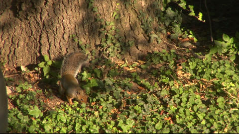squirrel 07 Stock Video Footage