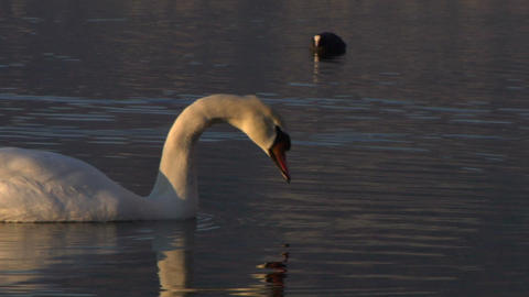swan 01 Stock Video Footage