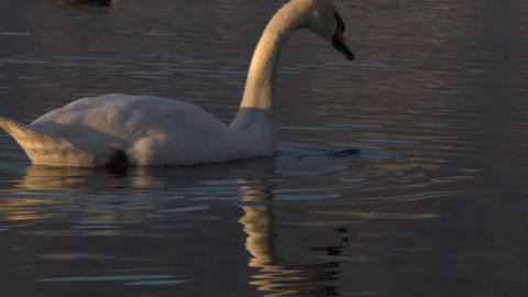 swan 01 Stock Video Footage