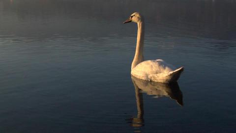 swan 03 Stock Video Footage