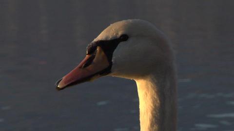 swan 05 Stock Video Footage