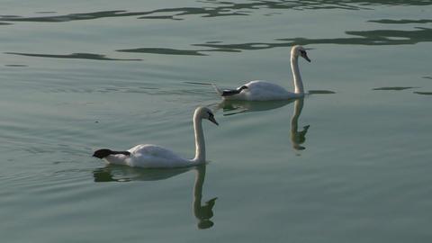 swan 22 Stock Video Footage