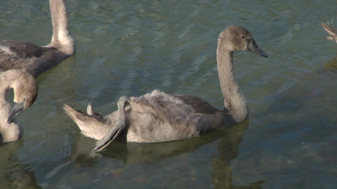 swan 24 Stock Video Footage