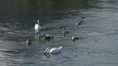 swan 26 Stock Video Footage
