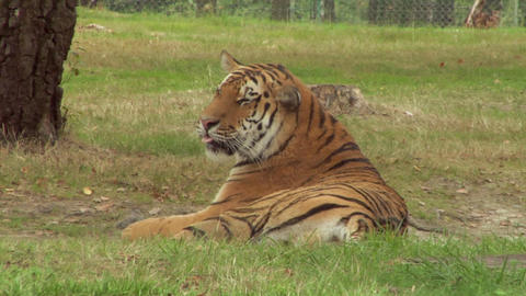 tiger 02 Stock Video Footage
