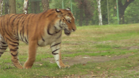 tiger 04 Stock Video Footage