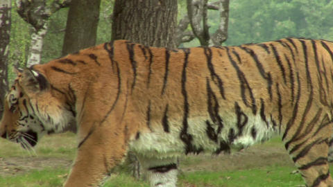 tiger 06 Stock Video Footage
