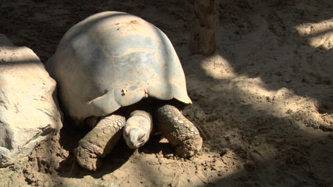 tortoise 02 Stock Video Footage