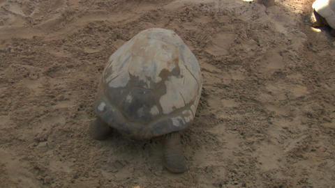 tortoise 04 Stock Video Footage