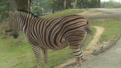 zebra 01 Stock Video Footage