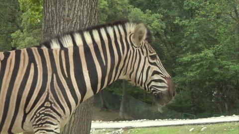 zebra 03 Stock Video Footage
