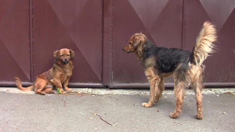 Two Reddish Bored Dogs On The Street 03 stock footage
