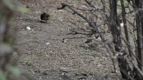 Sparrows peck food from the earth 01 Footage