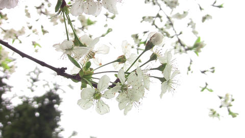 Sour cherry white flowers 02 Footage
