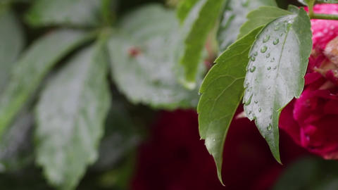 Tree Leaves In Rain 02 stock footage