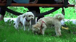 White puppies sitting under a bench in the park and sniff the grass 01 Footage