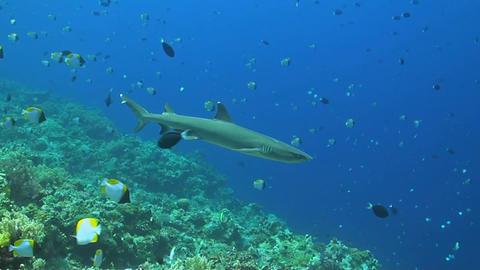 Whitetip Reef shark on a coral reef ภาพวิดีโอ