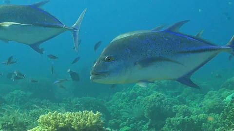 Trevallies on a coral reef ภาพวิดีโอ