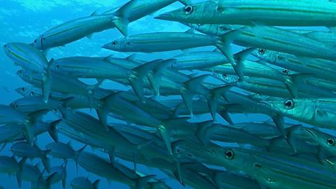 Yellowstripe barracudas ภาพวิดีโอ