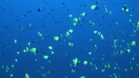 Butterflyfishes on a coral reef ภาพวิดีโอ