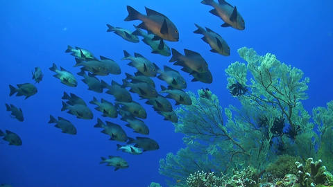 Midnight Snapper on a coralreef ภาพวิดีโอ