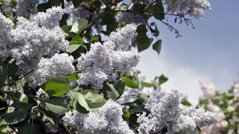Blossoming Blue Lilac Against The Clear Sky stock footage