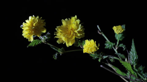 Yellow flowers in the night 01 Footage