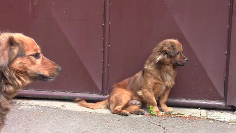 Two reddish bored dogs on the street 02 Footage