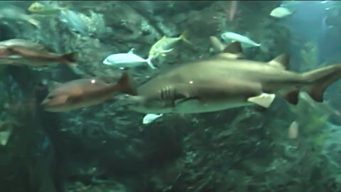 Floating In The Aquarium Shark stock footage