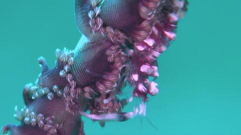 Whip Coral Shrimp Footage