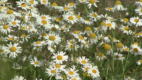 Chamomile swaying in the wind Live Action