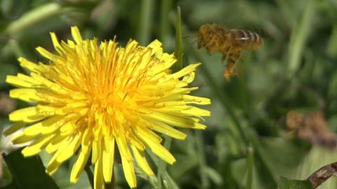 Emergency Landing Of A Bee stock footage