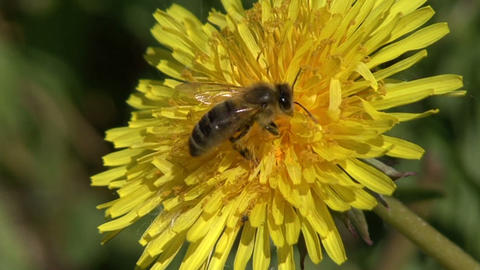 bee on a dandelion Footage