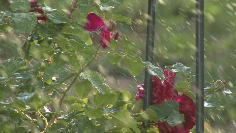 Red Flowers ,water Drops stock footage