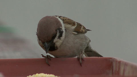 Sparrow Pecks stock footage